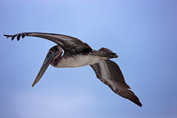 pelican7704